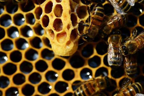 What's happening in the world of the honeybee? Scientists work on bee immune systems give evidence that a means of vaccination may be possible.